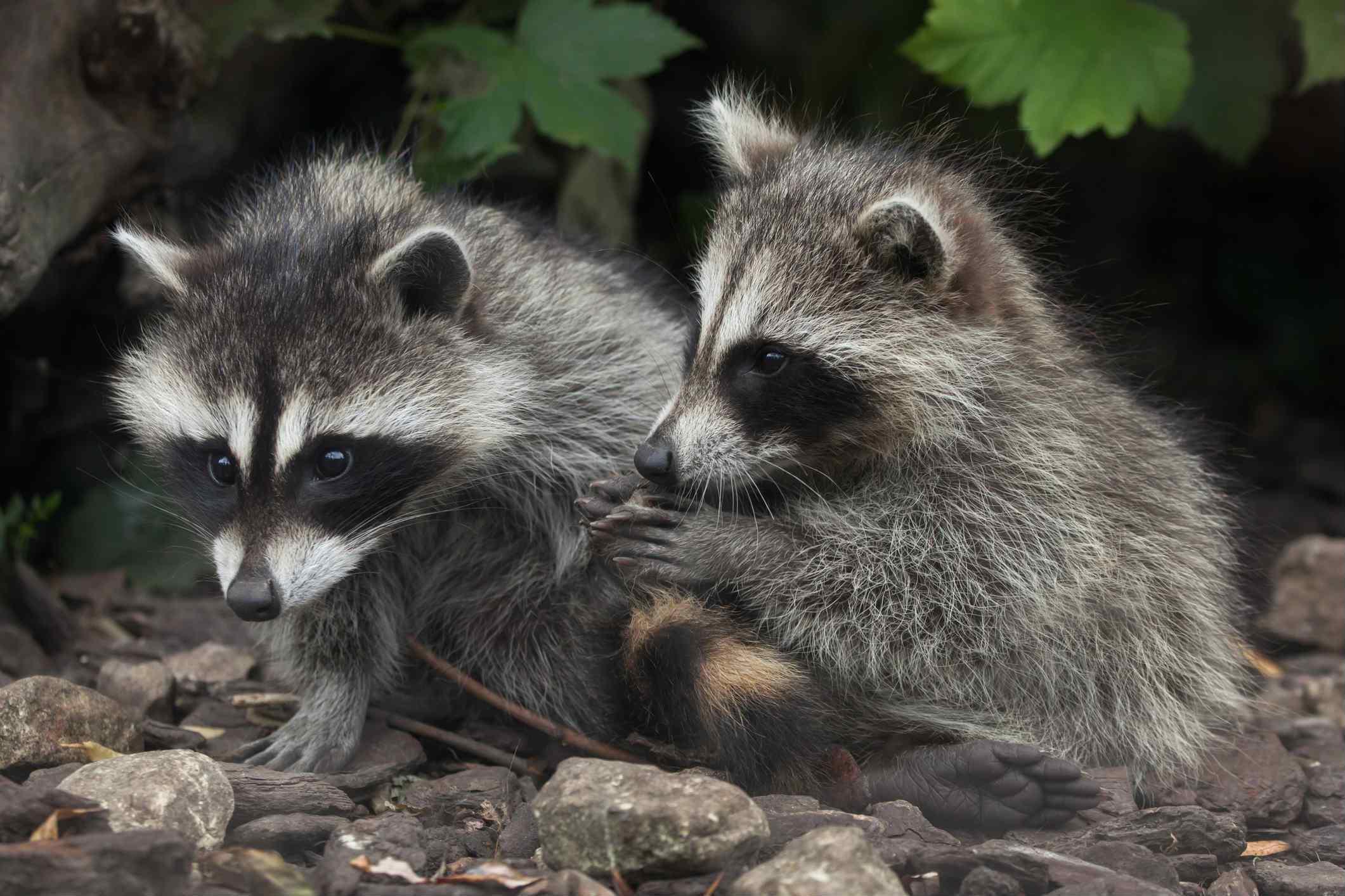 raccoons