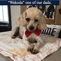 Toy Poodle- wakoda