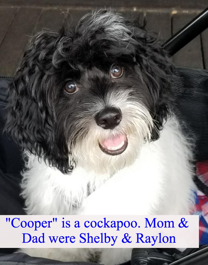 """Cockapoo"" My mom was Shelby"