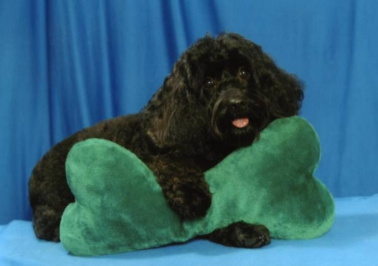 """""""Cockapoo"""" My mom is retired"""