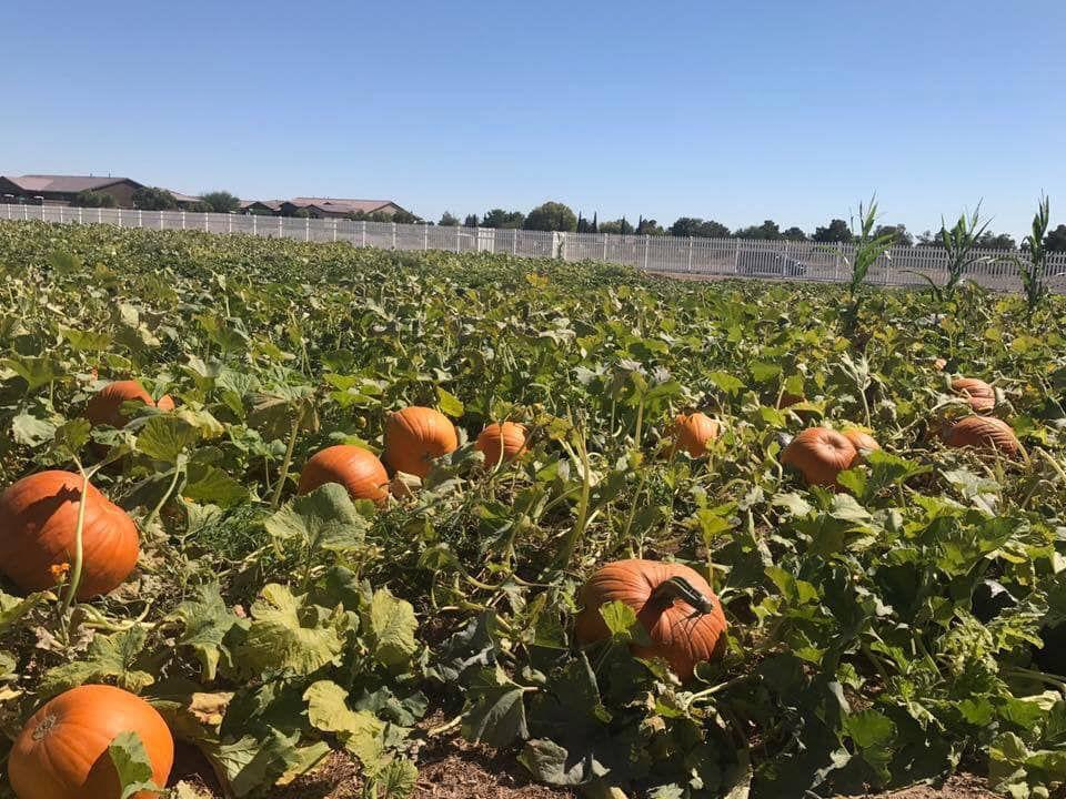 Cultivate Las Vegas dispensary. Gilcrease Orchard in northwest Las Vegas announces opening date for pumpkin patch