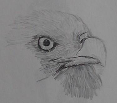 Pencil sketch of Bald Eagle face close up