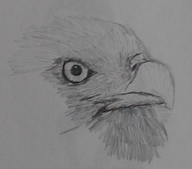 Pencil sketch of Bald Eagle face close up