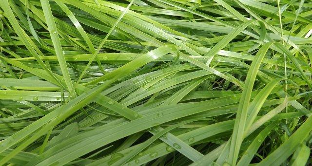 Sweetgrass grow
