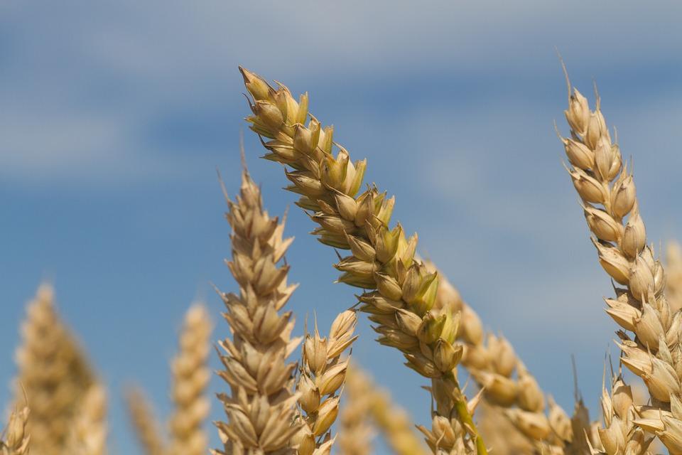 Pro vitamin B fiber rich grain species2