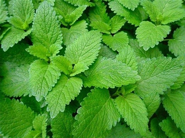 Spearmint leaves.jpg1
