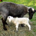 Sheep for Sale Bluemont VA
