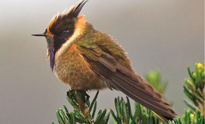 Esfera viva, amenazas, aves, aves de colombia, biodiversidad, Colombia, Conservación, extinción, fauna, impacto, instituto humboldt, libro rojo de las aves