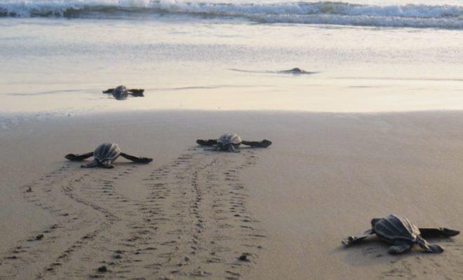 Esfera Viva, actualidad ambiental colombia, noticias ambientales colombia, ecosistemas marinos, fauna marina, tortuga marina