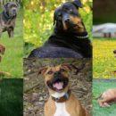Razas de caninos catalogadas como peligrosas en colombia, perros, defensa animal, codigo de policía, medellín, tenencia de mascotas