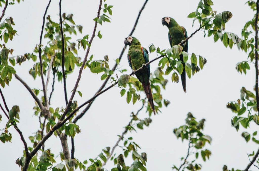 Aves de colombia, Biodiversidad, noticias ambientales antioquia, colombia, fauna silvestre, urabá, bananeras