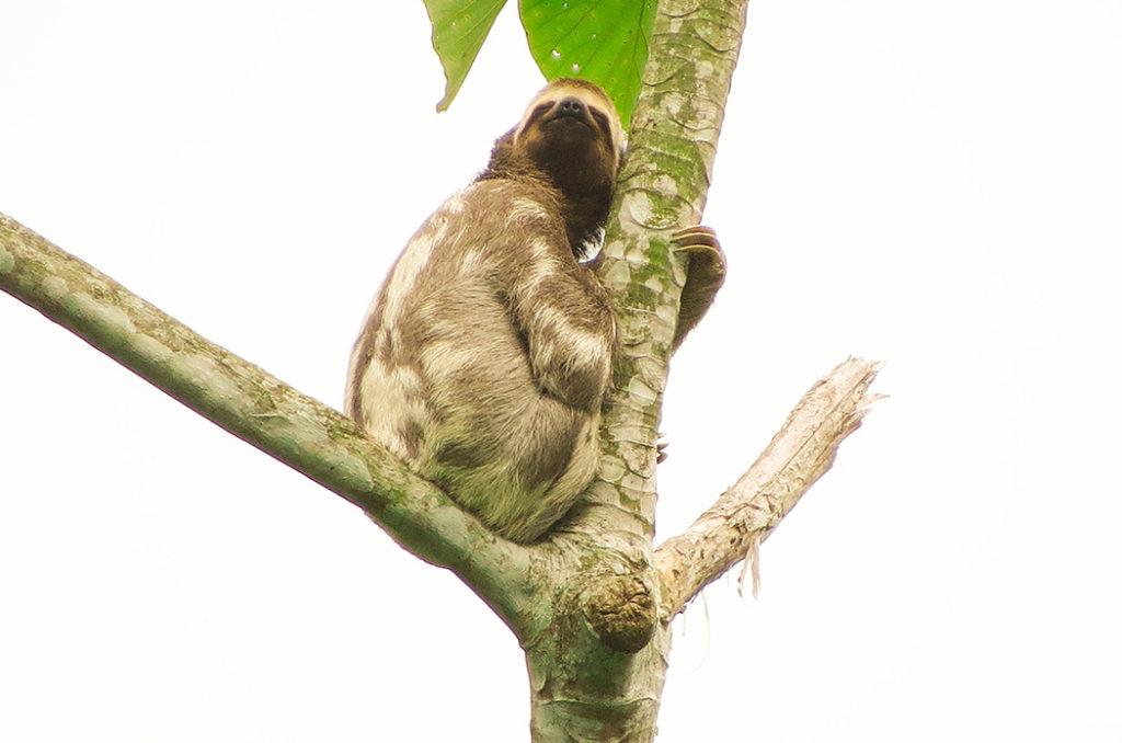Bradypus variegatus, perezoso de tres dedos, fauna, oso perezoso, magia salvaje, colombia, antioquia, biodiversidad, medio ambiente