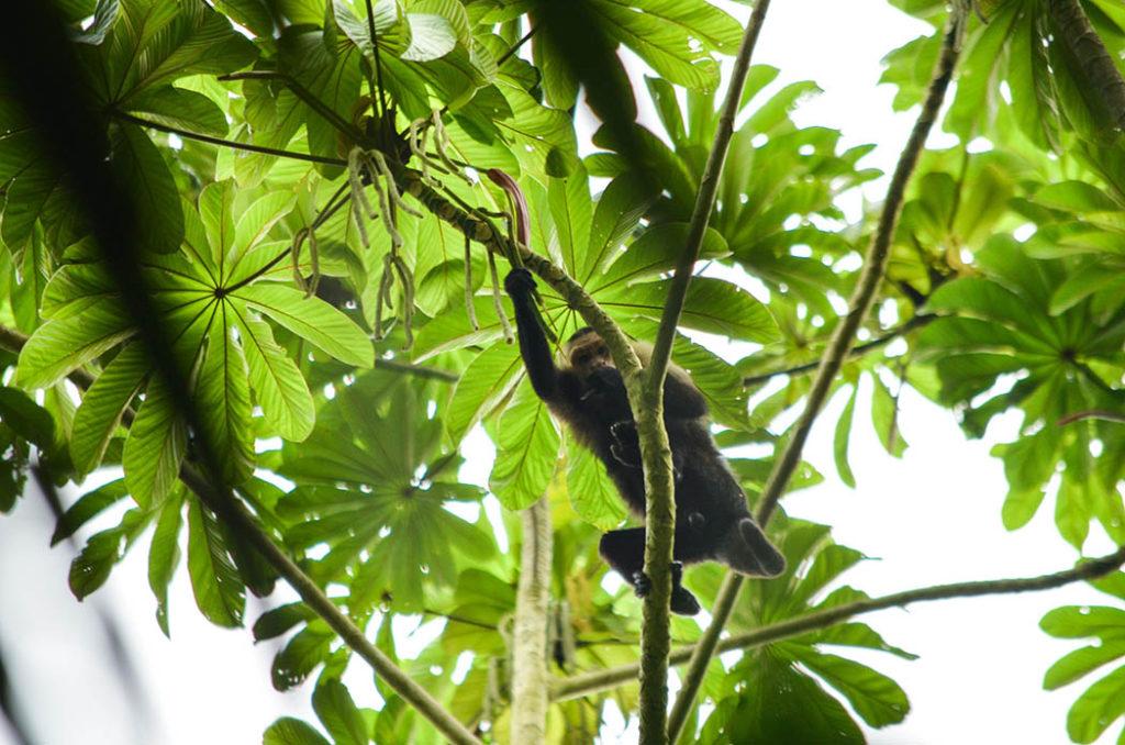 Magia salvaje, mono cariblanco, capuchino, monos de colombia, fauna, biodiversidad, primate, mamíferos, medio ambiente, antioquia