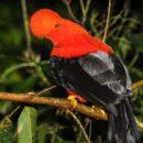 Esfera Viva, Noticias ambientales colombia, Colombia, Antioquia, Jardin, Suroeste, avistamiento de aves, aves, gallito de roca, rupicola peruvianus, fotografía