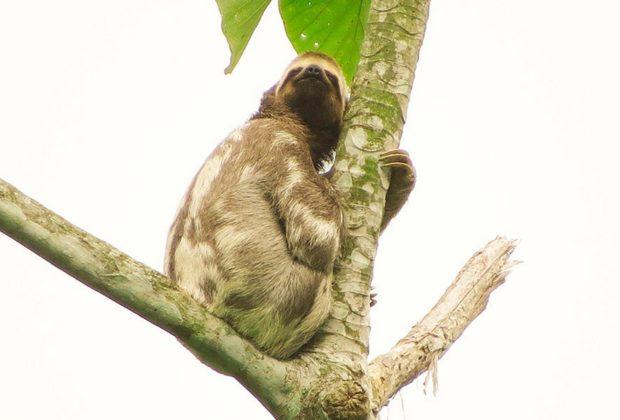 Esfera viva, Bradypus variegatus, perezoso de tres dedos, fauna, oso perezoso, magia salvaje, colombia, antioquia, biodiversidad, medio ambiente
