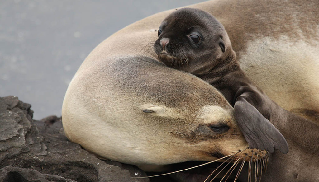 Mamá león marino y bebe, leones marinos, foto leones marinos, galería, artículo leones marino, esfera viva