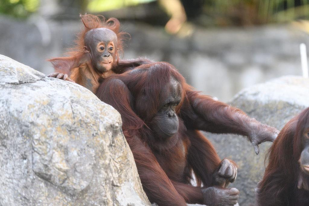 Orangután, orangutanes, mamá orangután, bebé orangután, familia orangutanes, galería mamás naturales, galería animal, artículo, galería, esfera viva.