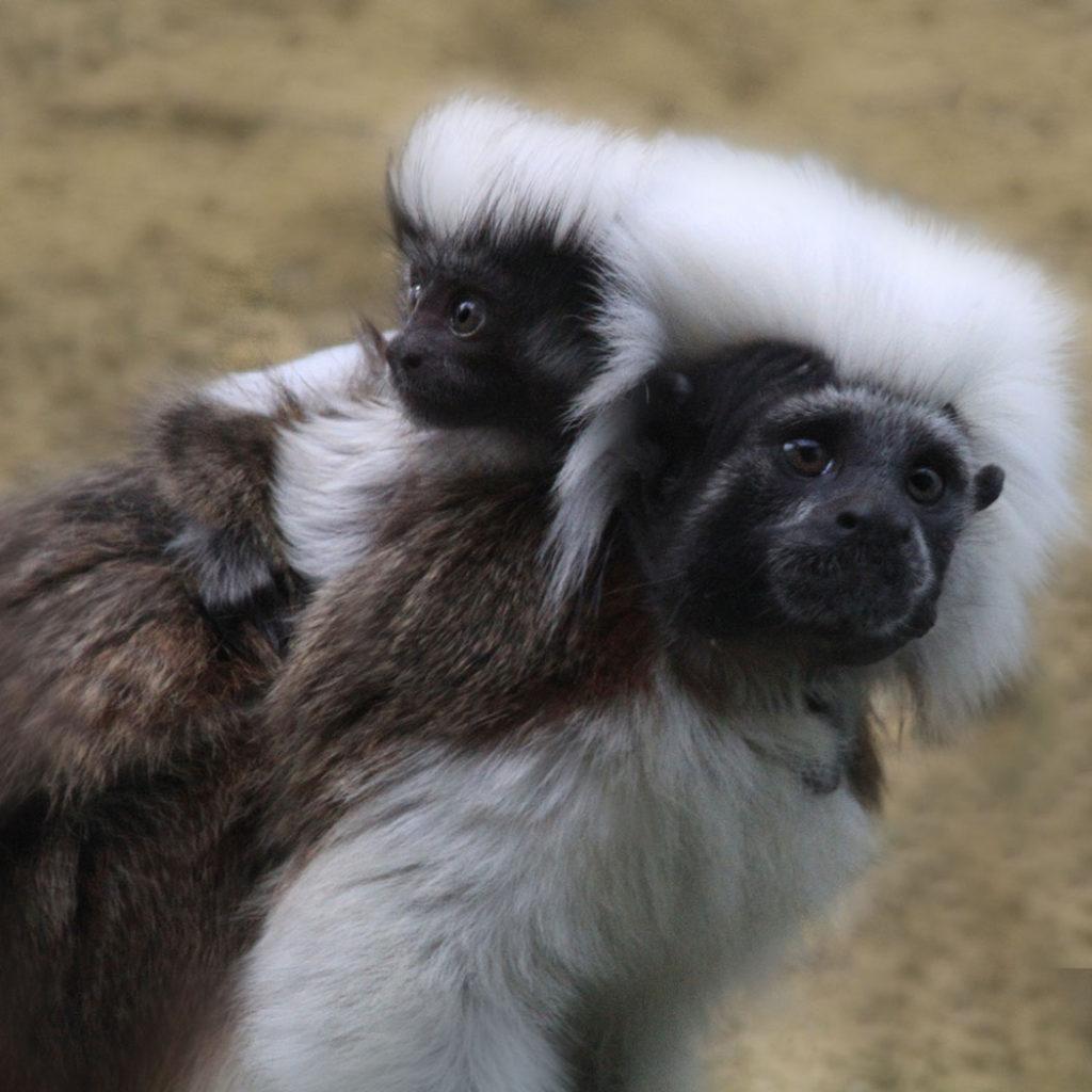 Mono cabeza de algodón, mamé e hojo cabeza de algodón, galería, fotografía, Titi Cabeciblanco, monos.