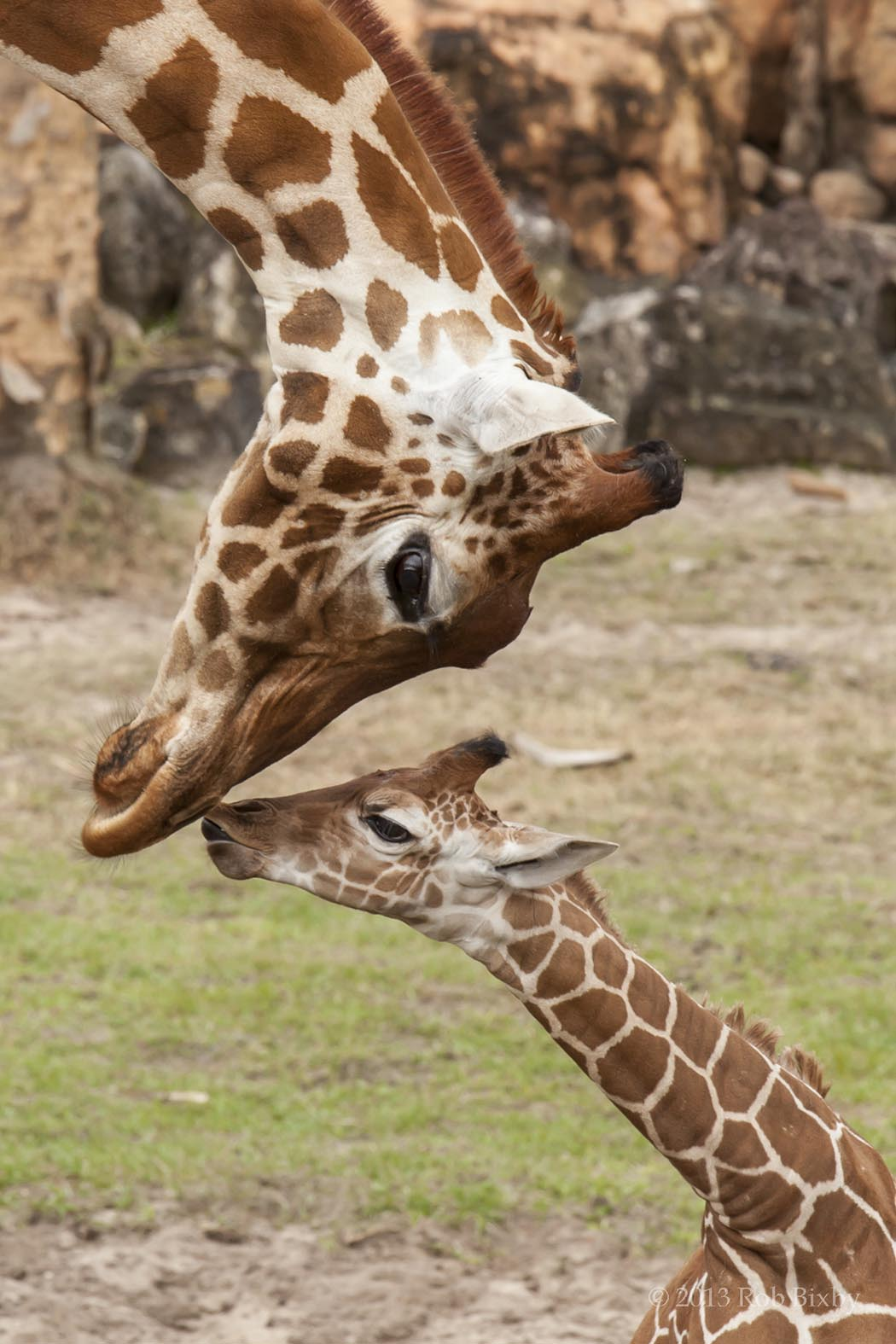 Jirafas, bebé jirafa, jirafa y su bebé, galería madres en la naturaleza, fotografía jirafas, esfera viva.