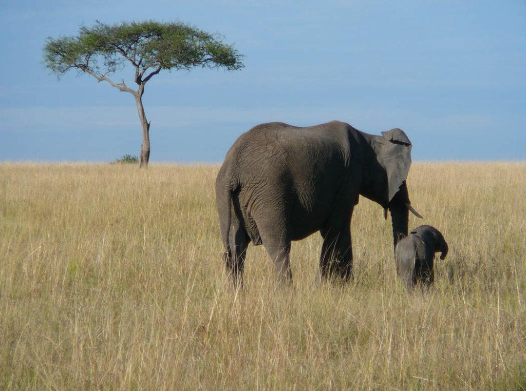 Elefantes, bebé elefante, mamá elfante, galería mamás en la naturaleza, galería animal, esfera viva, artículo.