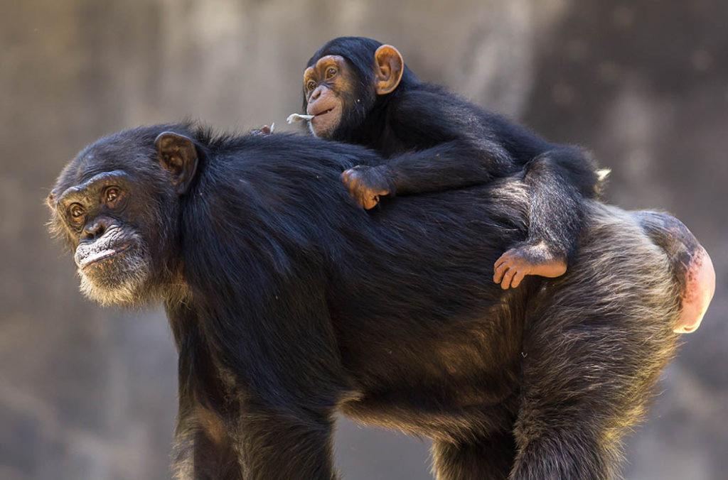 Chimpancé, bebé chimpancé, galería madres naturales, fotos chimpancé, esfera viva, galería.