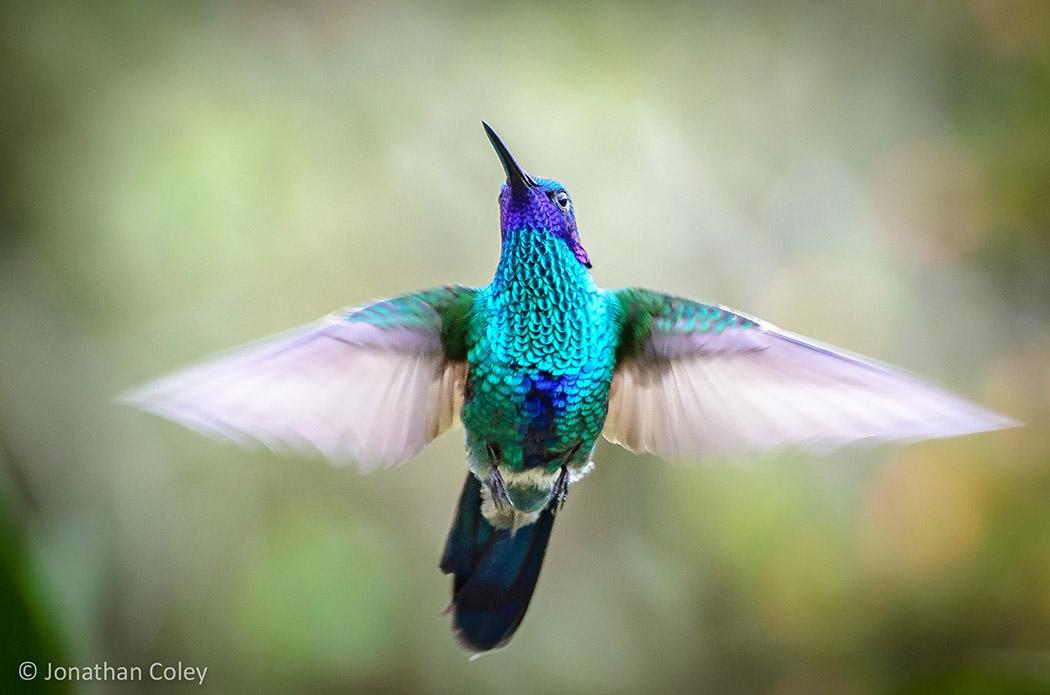 Colibrí, biodiversidad, colombia, naturaleza, biodiversidad colombiana, vida natural, vida animal, animales, aves, pajareo, aves colombianas. esfera VIVA.