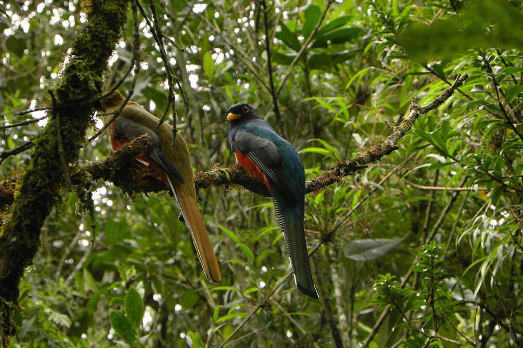 Hembra y macho de Trogón enmascarado, aves, aves colombianas, colombia, antioquia, valle de aburra, fotografía, foto aves, natural, biodiversidad, Diversidad VIVA, Esfera VIVA.