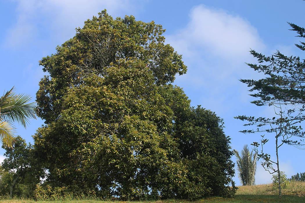 Roble, quercus humboltii, árbol, roble andino, roble comlombia, esfera viva.