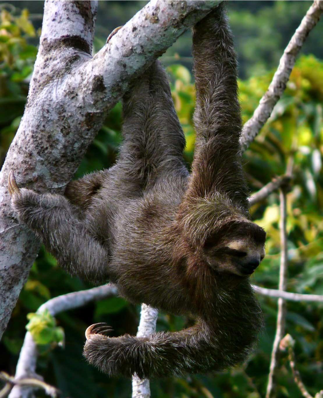 bradypus variegatus, medio de comunicacion ambiental colombia, colombia, medio ambiente, fauna, biodiversidad, animales, conservación