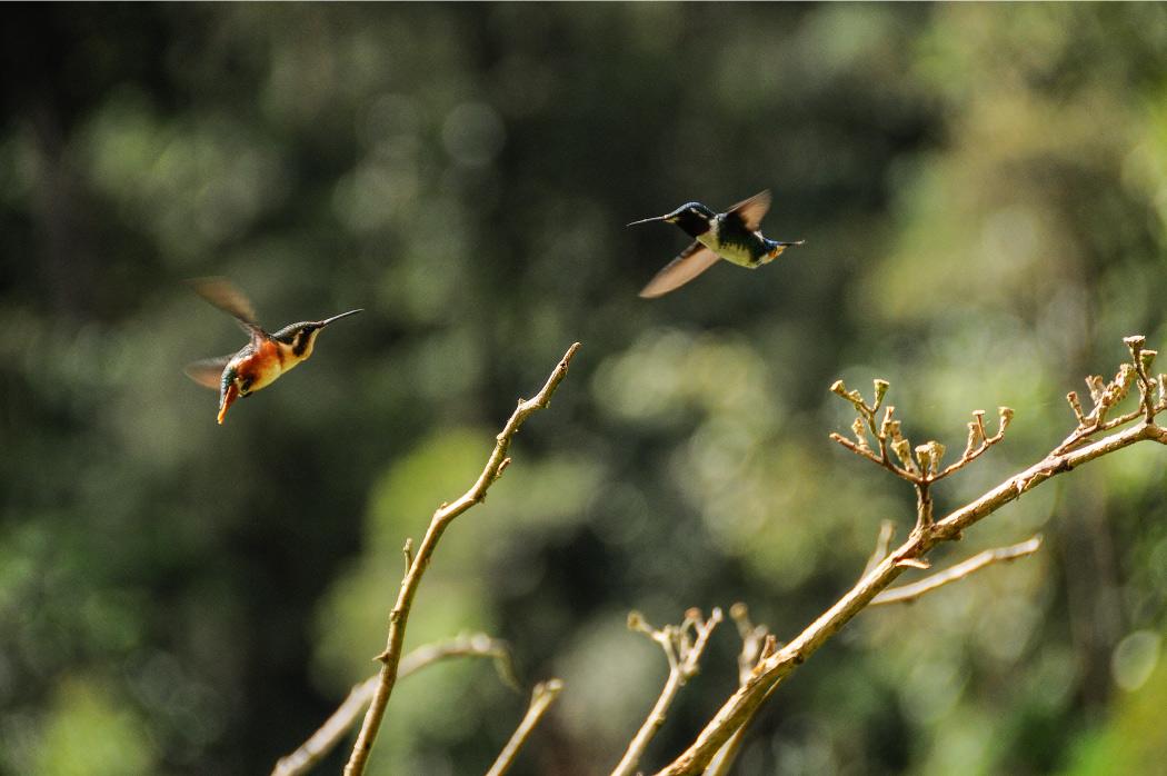 Páramo del sol, Antioquia, Urrao, Páramo de frontino, senderismo, Colombia, páramo, laguna, bosque, Esfera Viva, destinos ecoturísticos, ecoturismo colombia, camping, aventura, colibri, Chaetocercus mulsant