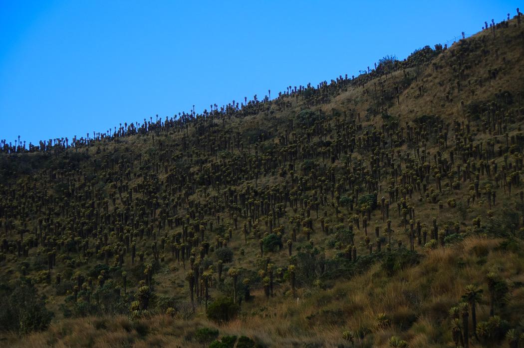 frailejon, parque nacional los nevados, ecoturismo, Nevado del ruiz, parque nacional los nevados, parques nacionales, colombia, ecoturismo, alta montaña, montañismo, senderismo, aventura colombia, lugares para viajar en colombia, esfera viva, blogs ambientales, medio ambiente