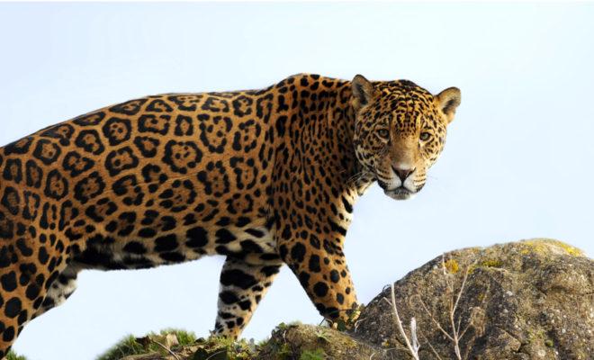 jaguar, colombia, cundinamarca, noticia ambiental, esfera viva, biodiversidad colombia, car cundinamarca