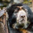 oso andino, colombia, biodiversidad, mamíferos, carnívoros, esfera viva, medio ambiente, noticias ambientales, Tremarctos ornatus