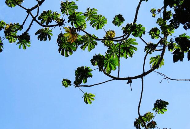yarumo, cecropia, alto de san miguel, esfera viva, medellín, valle de aburrá, árboles nativos, especies de árboles, flora del valle de aburrá