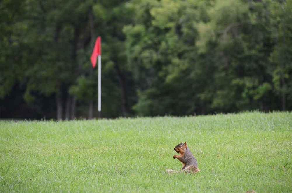 The-Falls-Golf-Club,-O'Fallon,-MO-Squirrel