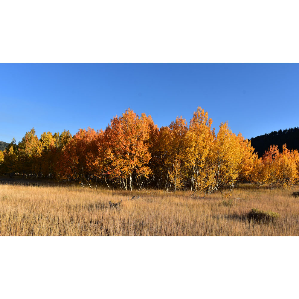 Aspen in Sawtooth National Forest, Sun Valley, Idaho