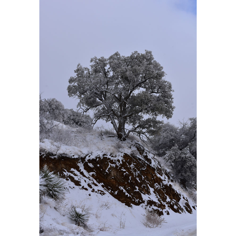 Winter Scene with Oak Tree, Southern Arizona