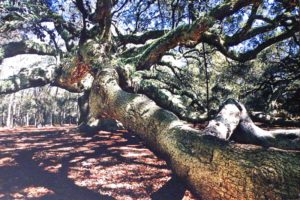 Angel Oak, Photography by Kenneth F. Allwine II (October 2012)