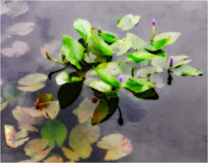 Lilies Afloat, Photography by Becki Heye, 11in x 14in, $125 (November 2017)