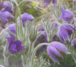 Pasque Flowers, Photograph by Penny A. Parrish, Unframed 16in x 19in Framed 22in x 25in (April 2013)