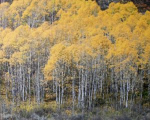 Aspen Forest, Photo on Canvas by Rachael Carroll, Size 16in x 20in (October 2013)