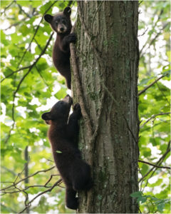 Climbing Cubs, Photograph by Matthew Huntley, 20in x 16in, $100 (August 2018)