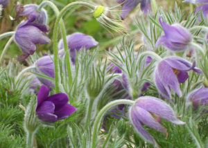 Pasque Flowers by Penny A. Parrish (CBTC June-Sept 2018)