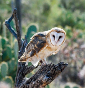 Arizona Barn Owl, Photograph by Dorothy Stout, 12in x 11.5in, $250 (April 2019)