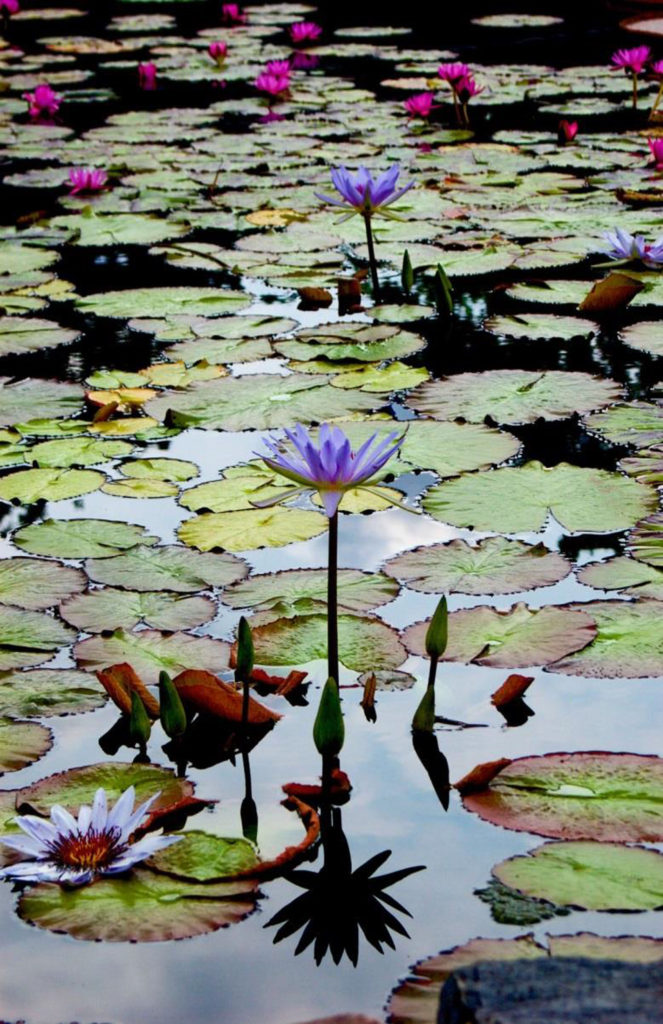 HONORABLE MENTION: The Lotus Pond, Photograph on Metallic Paper by Lee Cochrane, 17in x 11in, $180 (April 2019)