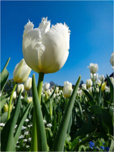 Tulip, Photographic Print by Dorothy Stout, 8in x 6in, $150 (July 2019)