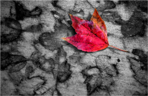 Sidewalk Leaf, Photography by Dave Kennedy (February 2016)