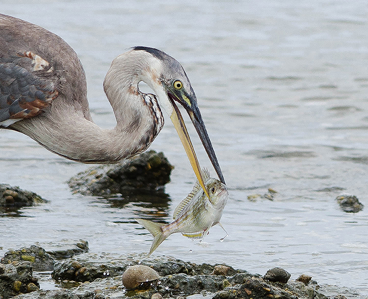 Heron Lunch by Dawn Whitmore (MG: September 2015)