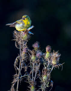 Goldfinch on Thistle, Photography by Jeanne Jackson, 14in x 11in, $175 (February 2020)