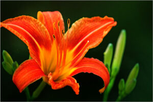 Tiger Lily, Photo on Aluminum by Delia Engstrom (October 2014)